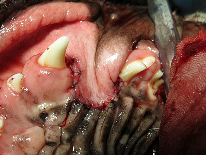 Exodontics - Dog Tooth Extraction