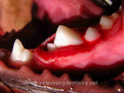 Bone Destroying Cysts in a Dogs - Oral Surgery in Dogs