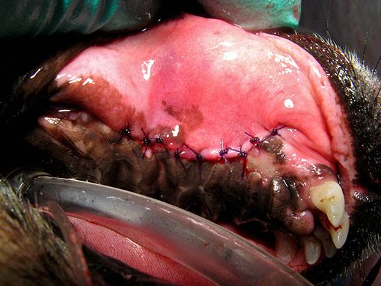 Oronasal Fistula (ONF) Repair in Dogs
