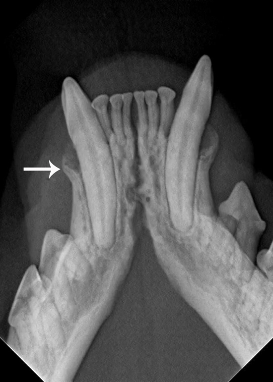 Canine Teeth Xray - Periodontal Disease Treatment in Cat