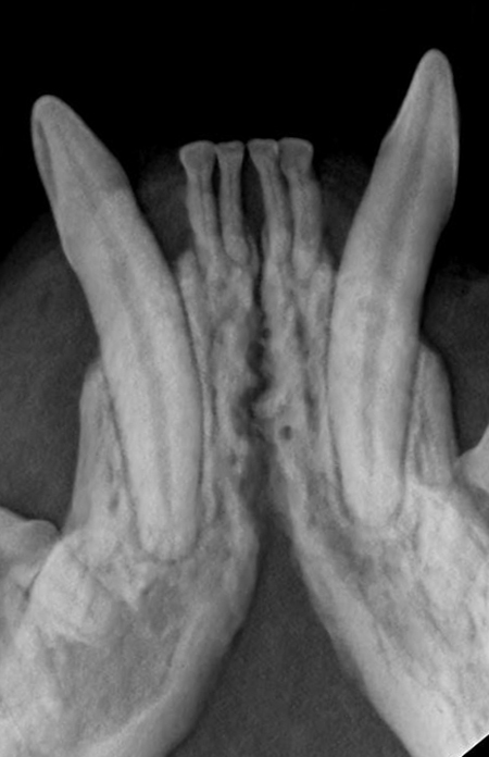 Canine Xray - Periodontal Disease Treatment in Cat