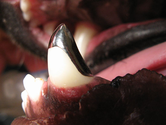 Pet Prosthodontics - Crown Therapy in Dog Tooth